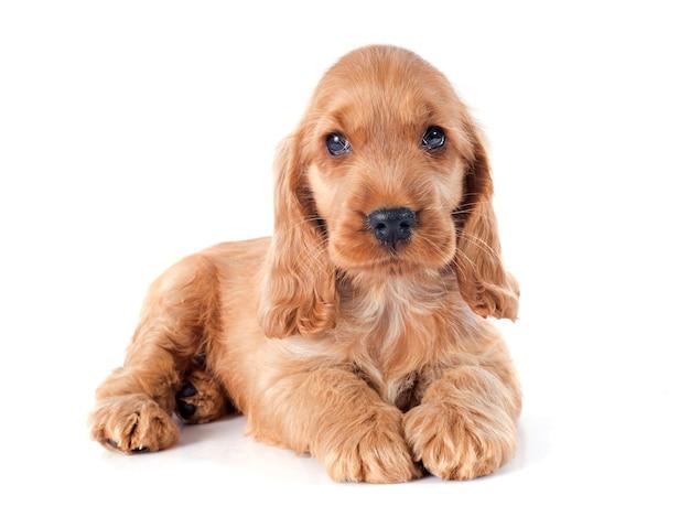 子犬英語コッカー