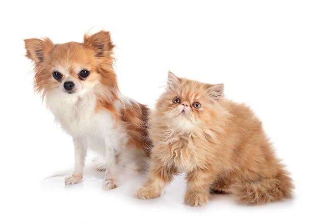 ペルシャの子猫とチワワ