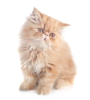 ペルシャの子猫