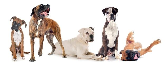 Боксеры собаки