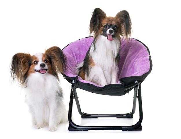 パピヨン犬の椅子