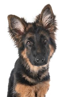 子犬ジャーマンシェパード