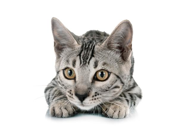 スタジオでベンガル猫
