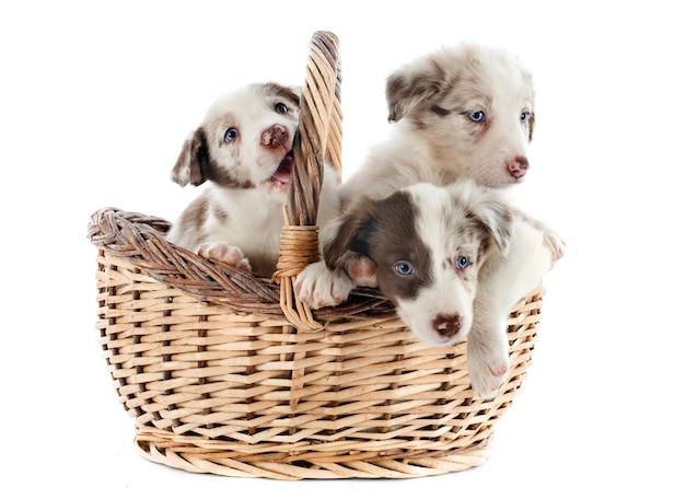 子犬ボーダーコリー