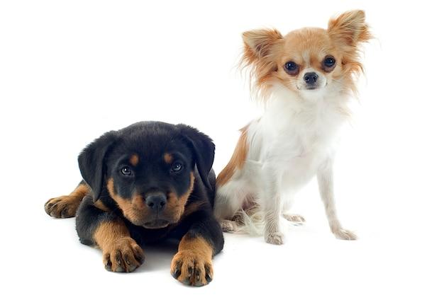 子犬ロットワイラーと白のチワワ