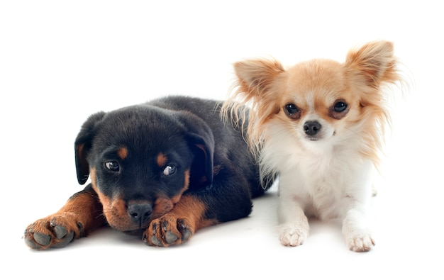 白のチワワと子犬のロットワイラー