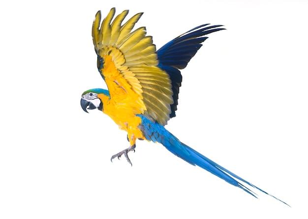 スタジオで青と黄色のコンゴウインコ