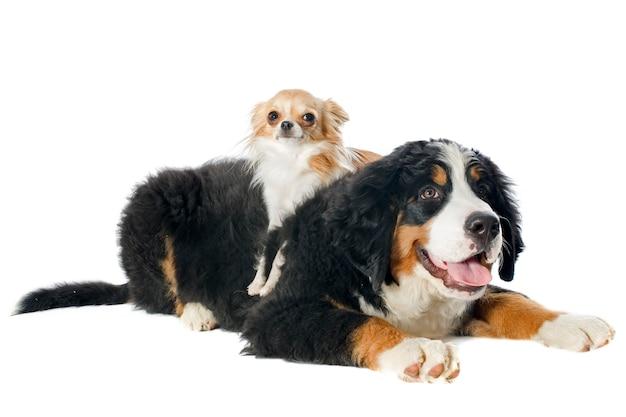 子犬ベルナーと白のチワワ