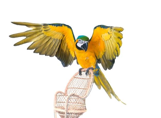 Сине-желтая ара в студии