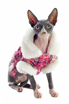 スフィンクス猫の服を着て