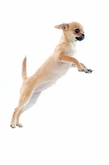 Прыгающий щенок чихуахуа