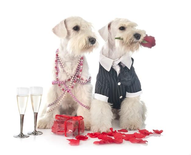 バレンタインの日に服を着た犬のカップル
