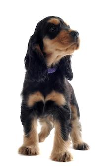子犬イングリッシュコッカー