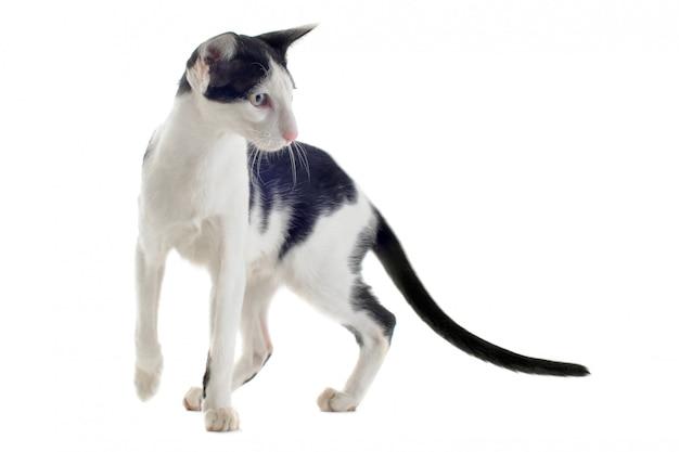 Черно-белая ориентальная кошка