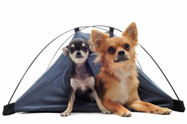 テントの中で子犬と大人のチワワ