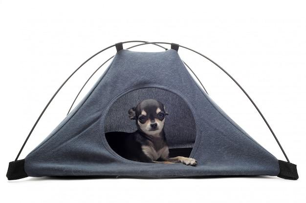 Щенок чихуахуа в палатке