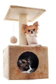 チワワとシャム猫