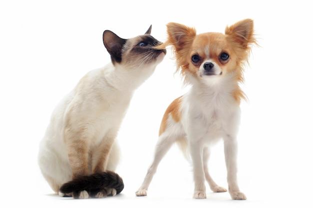 Щенок чихуахуа и сиамский котенок