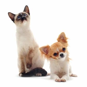 子犬チワワとシャムの子猫
