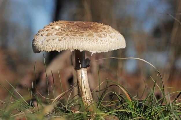 Зонтик гриб в поле