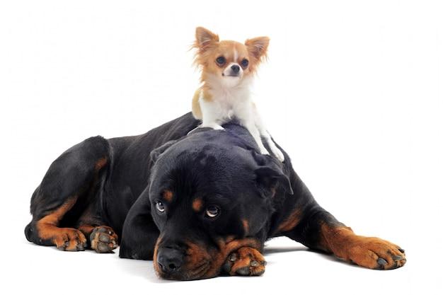 白のロットワイラーと子犬チワワ