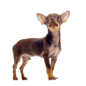 子犬チワワ