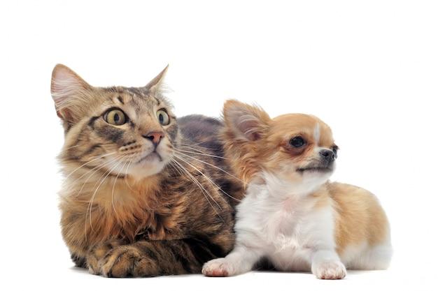 子犬チワワと猫