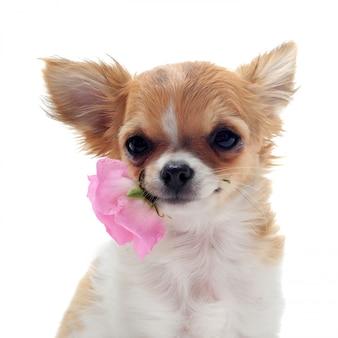 子犬チワワと花