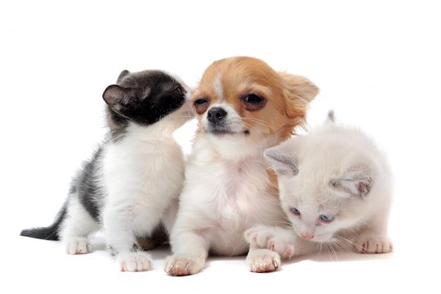 子犬チワワと子猫