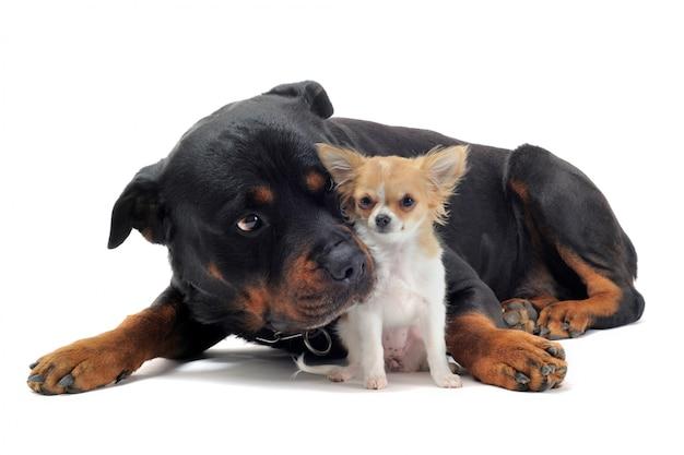 ロットワイラーと子犬チワワ
