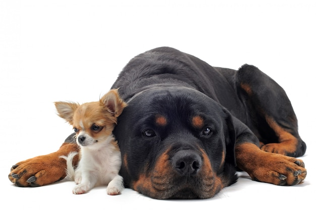 Ротвейлер и щенок чихуахуа