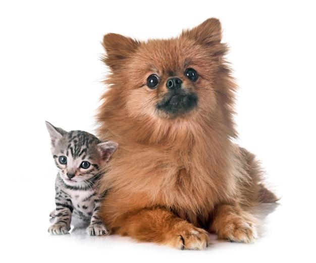 ベンガル子猫とポメラニアン