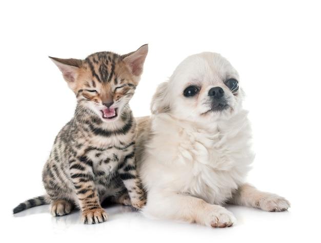 ベンガル子猫と子犬チワワ