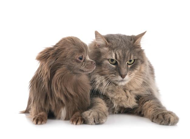 猫とチワワ