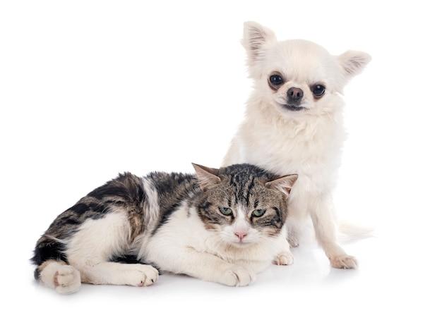 野良猫とチワワ