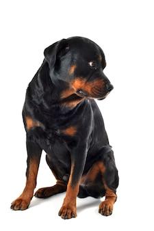 Ротвейлер собака на белом фоне