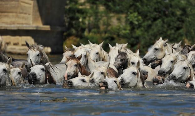 カマルグ馬の群れ