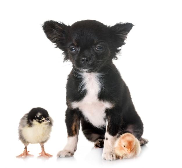 Щенок чихуахуа и цыпленок