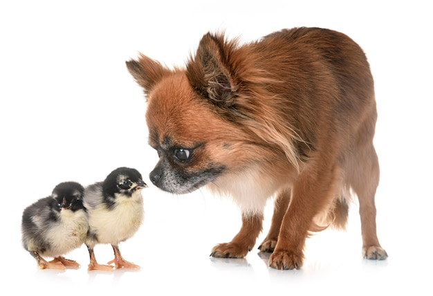 Чихуахуа и птенцы