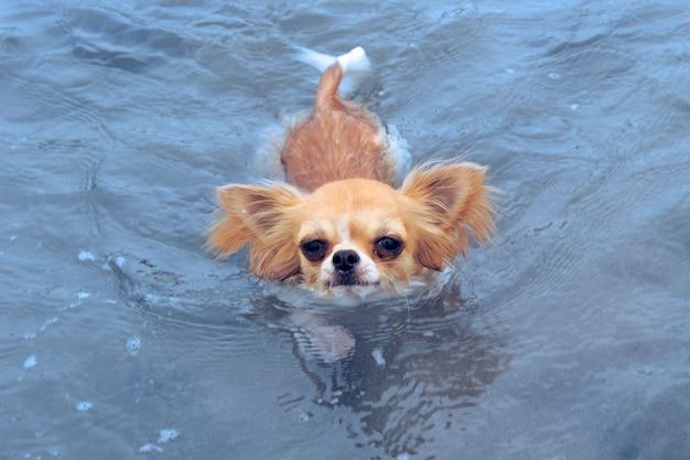 Плавательный чихуахуа
