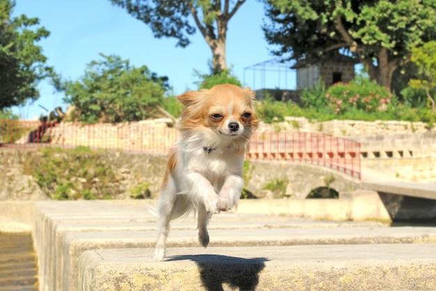 Прыжки чихуахуа