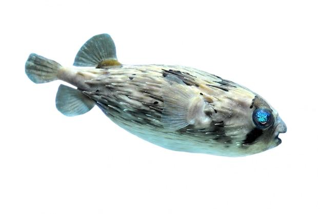 Крупным планом рыба из дикобраза