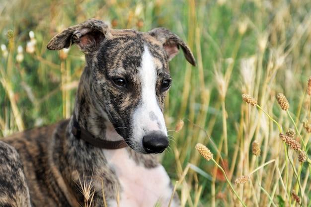 草の中に立っている子犬ウィペット