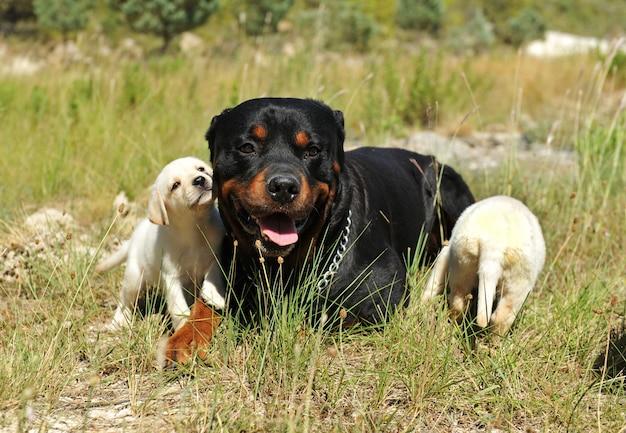 草の中のロットワイラーと子犬のラブラドール