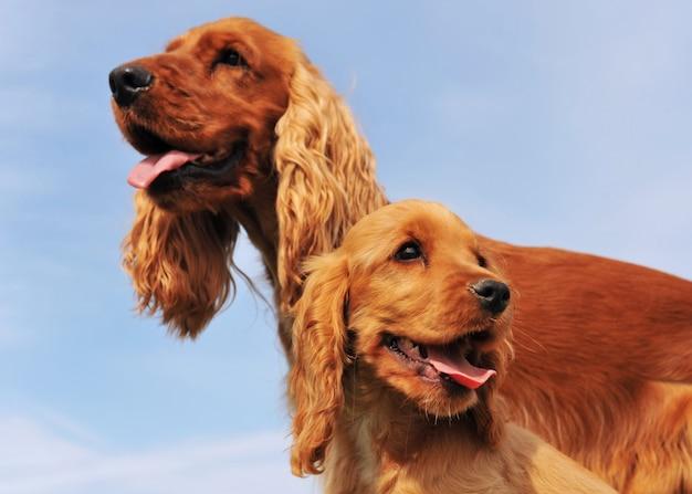 子犬と大人のコッカー