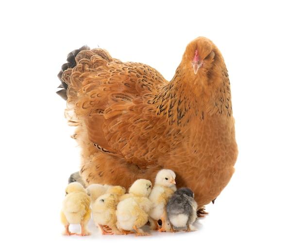 Брахма курица и птенцы