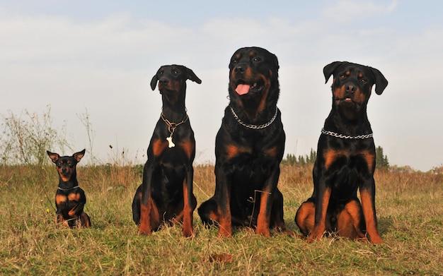 Три сторожевые собаки и пинчер