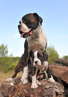 母と子犬のボクサー