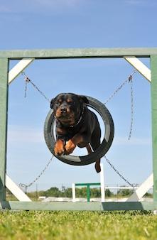 ロットワイラー犬をジャンプ
