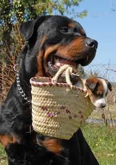 Ротвейлер и щенок